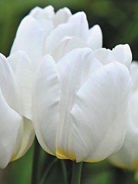 Тюльпаны Простые ранние White Prince 12+ (100 шт)