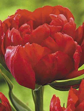 Тюльпаны Махровые ранние Abba 12/+ (500 шт)