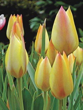 Тюльпан Баталина Honky Tonk 68 (3 шт)
