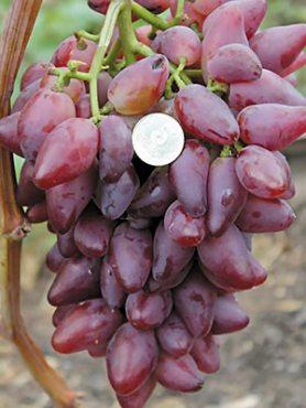 Виноград Дубовский розовый(1 шт)