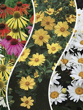"""Набор многолетних цветов """"Цветные ромашки"""" (9шт)"""
