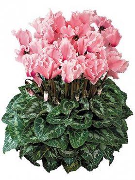 Цикламен крупноцветковый Halios Curly Rose Saumon & Flame F1 (1 шт)