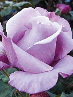 Роза чайно-гибридная Blue Nile(1 шт)