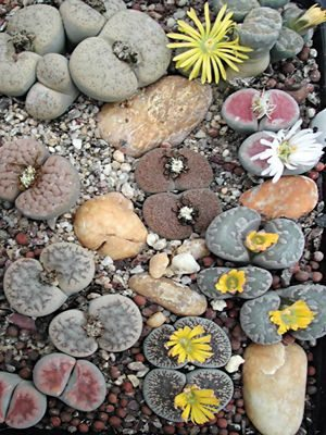 Литопсы (живые камни), смесь (10 шт) - 1