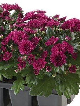 Хризантема мелкоцветковая низкорослая Baby Mum Purple (9 шт)