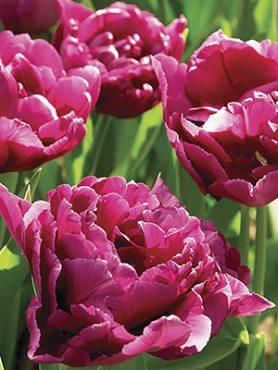Тюльпаны Махровые ранние Showcase 1011 (3 шт)