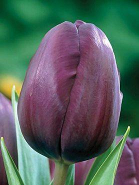 Тюльпаны Простые поздние Recreado 1011 (3 шт)