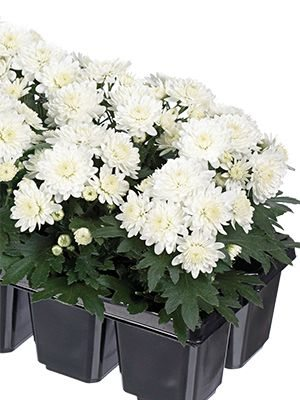 Хризантема дрібноквіткова низькоросла Baby Mum White (3 шт) - 1