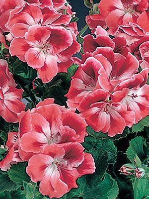 Пеларгония королевская Mandarin (1 шт) - 1