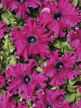 Петуния бахромчатая крупноцветковая Афродита пурпурная F1 (5 шт)