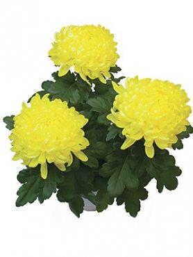 Хризантема горщикова Stromboli Yellow (9 шт)