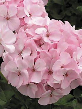 Пеларгонія зональна Pink (6 шт)
