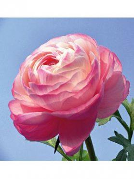 Лютик азиатский розовый (3 шт)