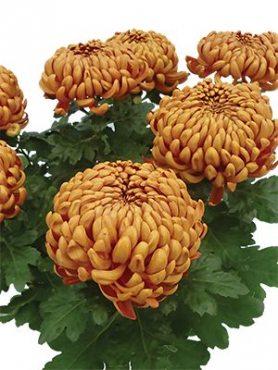 Хризантема горшечная Jokapi (3 шт)