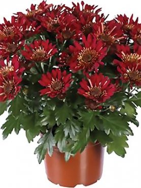 Хризантема горшечная Embera Red (3 шт)