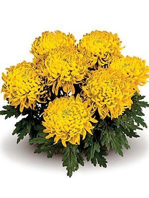 Хризантема горшечная Trumpf Yellow (3 шт) - 1
