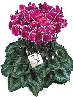 Цикламен крупноцветковый Halios Curly Violet Lisere F1 (1 шт) - 1