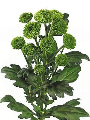 Хризантема срезочная Palm Dark Green (3 шт) - 1