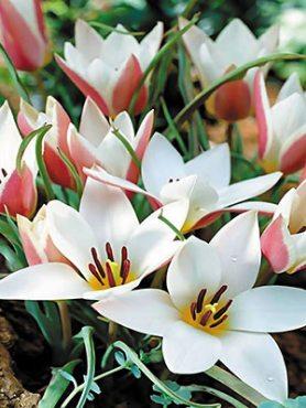 Тюльпани ботанічні Клузіус Peppermintstick 68 (3 шт)