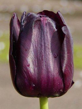 Тюльпаны Простые поздние Queen of Night 1011 (3 шт)
