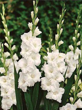Гладиолус садовый Paloma Blanca (5 шт)
