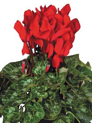 Цикламен крупноцветковый Super XL Red Impr.F1  (1 шт) - 1