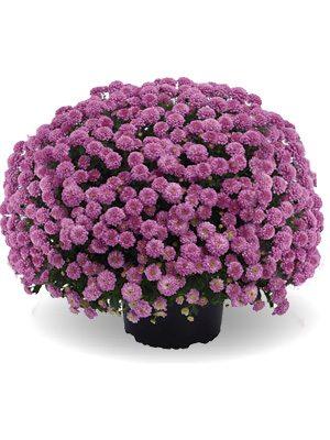 Хризантема дрібноквіткова низькоросла ZsaZsa Pink (9 шт) - 1