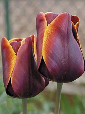 Тюльпаны Триумф Abu hassan 1011 (3 шт)