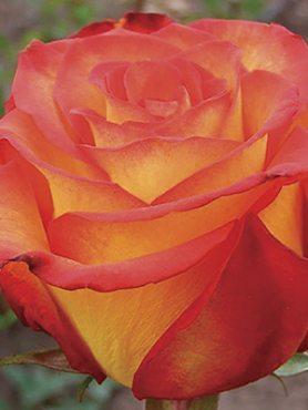 Роза чайно-гибридная Red Gold(1 шт)