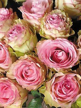 Роза чайно-гибридная Esperance (1 шт)