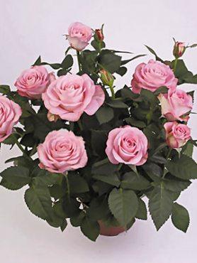 Роза горшечная Paint Star (1 шт)