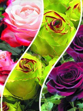 Набор роз Лучший выбор (3 шт)