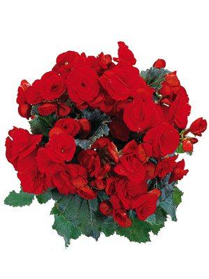 Бегонія красивоцветущая (зимова) Barkos (1 шт) - 1