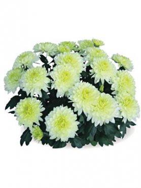 Хризантема горшечная Interpid (3 шт)