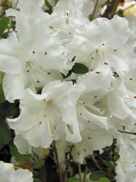 Рододендрон японський Adonis (1 шт)