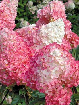 Гортензия метельчатая Pink Lady(1 шт)