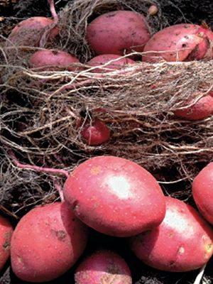 Картофель Лабелла (1 кг) - 1