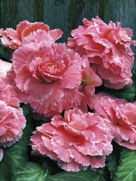 Бегония клубневая махровая Picotee, розовая со светлыми кончиками (1 шт)