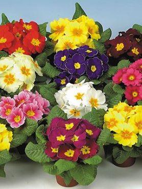Примула обыкновения позднего срока цветения, смесь (6 шт)