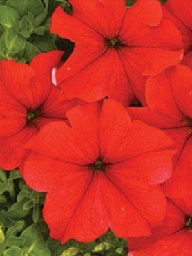 Петуния крупноцветковая Миледи F1, красная (10 шт)