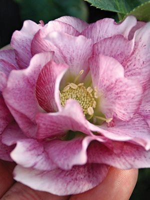 Морозник восточный махровый, розовый (1 шт) - 1