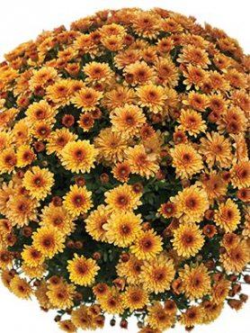 Хризантема мелкоцветковая низкорослая Branfire (3 шт)