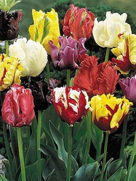 Тюльпаны Попугайные, смесь 1012 (10 шт)