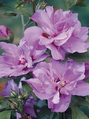 Гибискус сирийский Ardens (весна) (1 шт) - 1