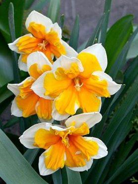 Нарциссы Разрезнокорончатые Orangery 1012 (3 шт)