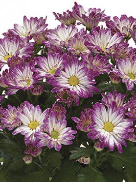 Хризантема горшечная Cheerio (9 шт)