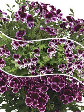 Пеларгония виолоцветная Angel Mosquitaway, смесь (3 шт)