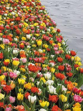 Тюльпаны Махровые ранние, смесь 1012 (50 шт)