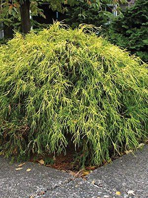 Кипарисовик горохоплодный Golden Mop (1 шт) - 1