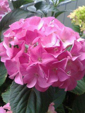 Гортензія великолиста Bouquet Rose (1 шт)